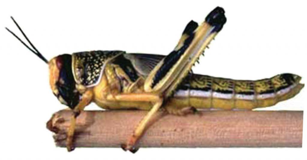 IMAGE: Desert locust, gregarious phase (Public Domain)